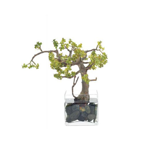 NDI  Succulent Bonsai Jade | Glass Cube